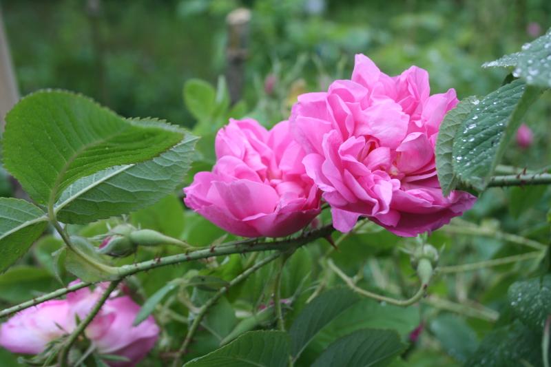 Anahakára rózsa